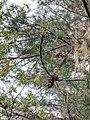Pinus morrisonicola 66058176.jpg