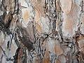 Pinus nigra (1111) 15.JPG
