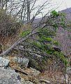 Pinus pungens Shenandoah 1.jpg