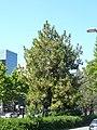 Pinus roxburghii de la Diagonal P1260795.jpg