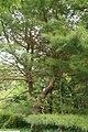 Pinus strobus 26zz.jpg