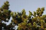 Pinus tabuliformis Fragrance Hill 1.jpg