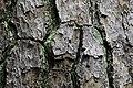 Pinus taeda CG 3 NBG LR.jpg