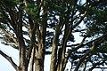 Pinwydden - Pine Tree - geograph.org.uk - 668907.jpg