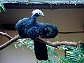 Pipile cumanensis -Parque das Aves, Foz do Iguacu, Brazil-8a (1).jpg