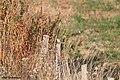Pipit rousseline Anthus campestris.jpg