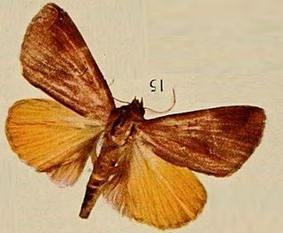 <i>Thyas nubilata</i> species of insect
