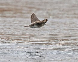 Plain Martin - Brown-throated Martin (Riparia paludicola) - Flickr - Lip Kee (1).jpg
