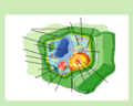 Plant cell structure no text.png