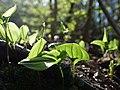 Plants on forest floor in the Spandauer Forst.jpg