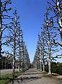 Platanus - Shinjuku Gyoen National Garden.JPG