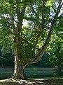 Platany Hlohovec - Plane-trees Hlohovec, Slovakia - panoramio (9).jpg