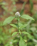 Platostoma hispidum 02385.jpg
