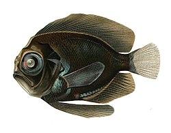 Platyberyx opalescens.jpg