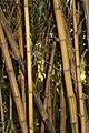 Poales - Bambusa vulgaris - 2.jpg