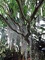 Poales - Tillandsia usneoides - kew 1.jpg