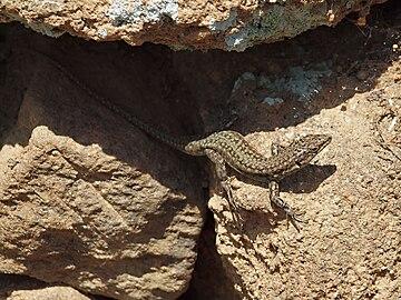 Podarcis hispanica 20100410e.jpg