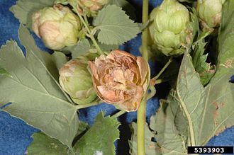 Podosphaera macularis - Common hop cones showing powdery mildew infection caused by Podosphaera macularis