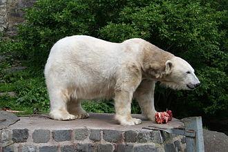 History of Edinburgh Zoo - Polar bear Mercedes at Edinburgh Zoo in 2006