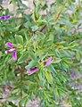 Polygala myrtifolia darrere l'ermita de la Font Santa, Teulada.jpg