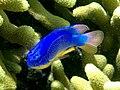 Pomacentrus sp. - Damsel fish (11006831954).jpg