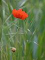 Poppy one . (7449331248).jpg