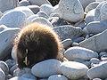 Porcupine Face.jpg
