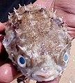 Porcupinefish2.jpg