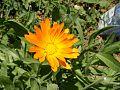 Pot-Marigold Calendula-officinalis 112674-480x360 (4792082486).jpg