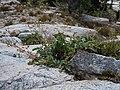 Potentilla diversifolia (5065853619).jpg