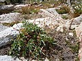 Potentilla diversifolia (5066464834).jpg