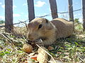 Prairie Dog eating.jpg