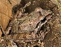 Pristimantis achatinus (14985010538).jpg