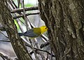 Prothonotary Warbler (34023735253).jpg