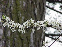 Prunus cerasifera0.jpg