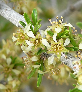Prunus fasciculata - This male has flowers with 10-15 stamens that are clustered with leaves in fascicles.