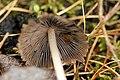 Psathyrella.corrugis2.-.lindsey.jpg