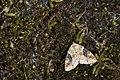 Pseudodeltote coenia (40566992790).jpg