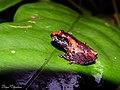 Pseudophilautus wynaadensis ( Common Bush Frog) (21843895540).jpg