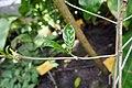 Psilanthus mannii-Jardin botanique Meise (4).jpg