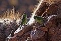 Psilopsiagon aurifrons -Salta, Argentina-two-8.jpg