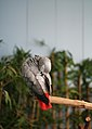 Psittacus erithacus -National Aviary, Pittsburgh, Pennsylvania, USA-8a.jpg