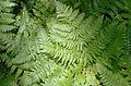 Pteridium aquilinum subsp pubescens 5361569.jpg