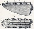Pterodactylus daviesii.jpg