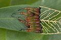 Pterygophorus cinctus (15522431669).jpg
