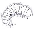Ptinus Gynopterus larva Reitter.png