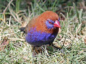 Purple Grenadier male RWD4.jpg