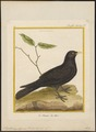 Pyrrhocorax alpinus - 1700-1880 - Print - Iconographia Zoologica - Special Collections University of Amsterdam - UBA01 IZ15700085.tif
