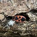 Pyrrhocoris apterus 55080575.jpg