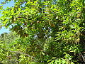 Quercus canariensis 1.JPG